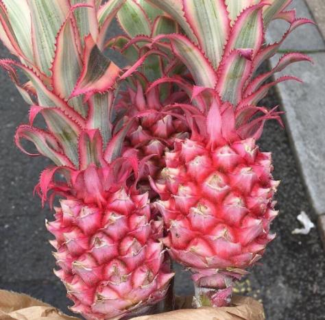 Розовые ананасы-мутанты