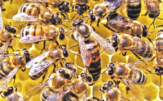 <center><b>За британским автолюбителем два дня гонялись пчелы</center></b>