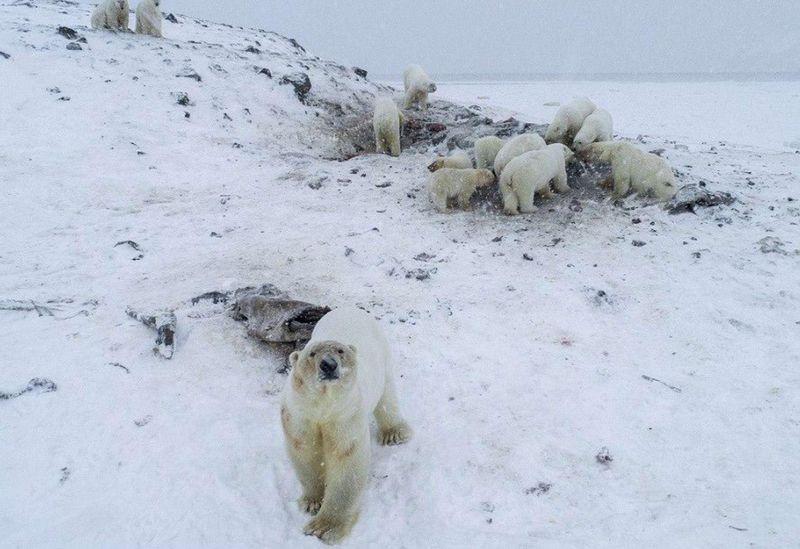 Жители Якутии организовали «столовую» для белых медведей