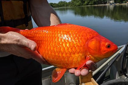 Гигантские золотые рыбки портят американские водоемы