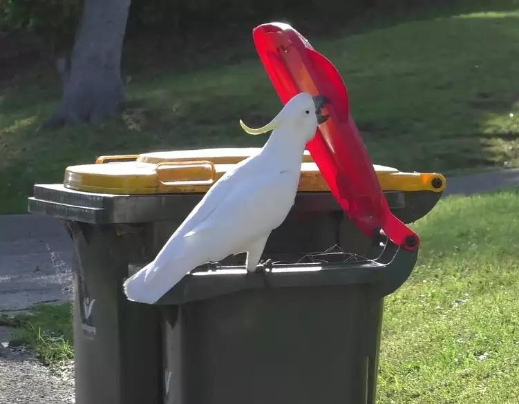 В Австралии попугаи начали учить друг друга плохому