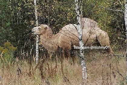 Вот это улов: под Нижним Новгородом грибник нашел в лесу верблюда