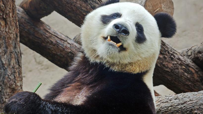 Московским пандам подарили кучу листьев для фотосессии